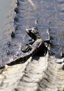 Are there alligators in South Carolina?