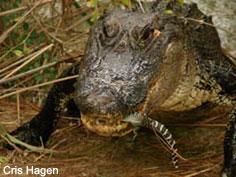 Species Profile: American Alligator (Alligator mississippiensis ...