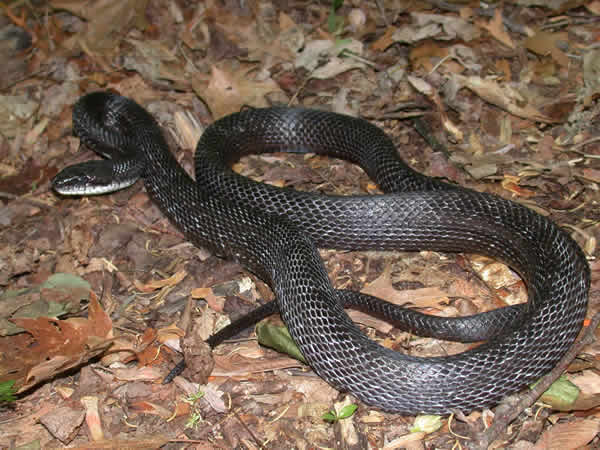 black rat snake   elaphe