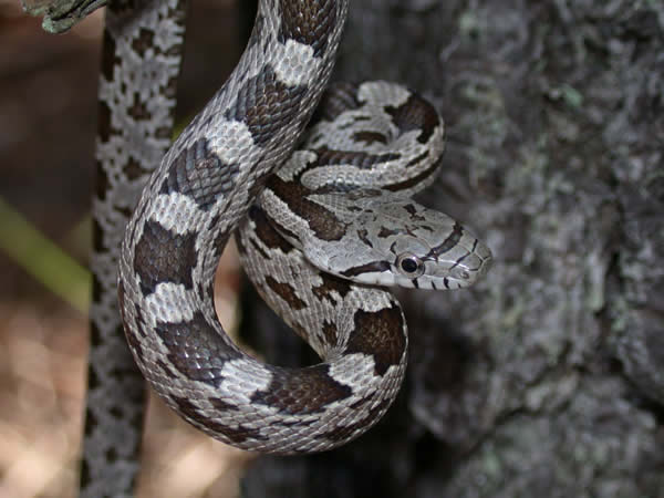 Gray Rat Snake - Elaphe obsoleta spiloides