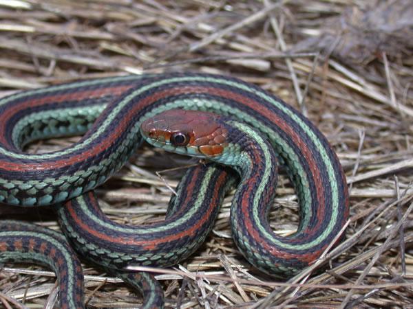 San Francisco Garter Snake - Thamnophis sirtalis tetrataenia