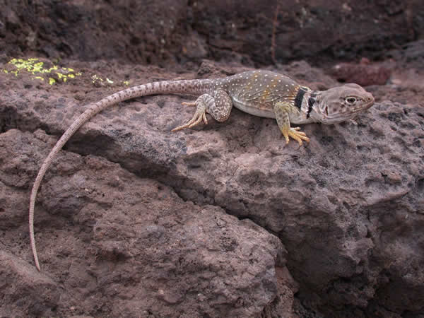 Eastern Collared Lizard - Crotophytus collaris