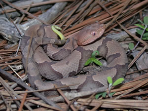 Juvenile copperhead note