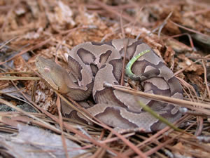 Juvenile Copperhead Pictures