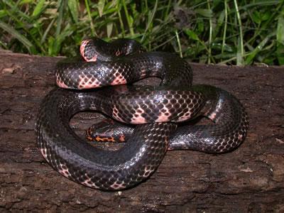mud snake
