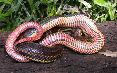 Species Profile: Rainbow Snake (Farancia erytrogramma ...
