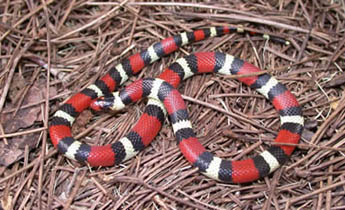 ... scarlet kingsnakes are considerably smaller than mi