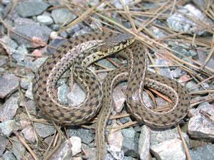 Species Profile Eastern Garter Snake Thamnophis Sirtalis