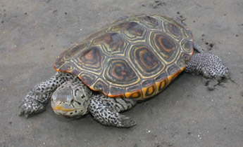Species Profile: Diamondback Terrapin (Malaclemys terrapin) | SREL.