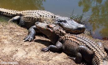 Species Profile: American Alligator (Alligator