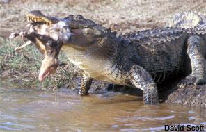 Species Profile American Alligator Alligator mississippiensis