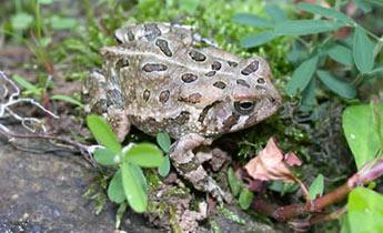 Species Profile: Fowler's Toad (Bufo [Anaxyrus] fowleri) | SREL