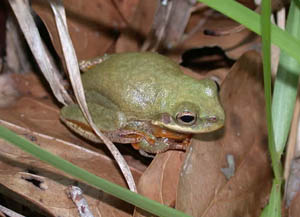 Species Profile: Squirrel Treefrog (Hyla squirella) | SREL