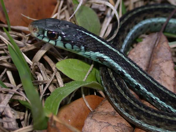 Blue-Striped Garter Snake - Thamnophis sirtalis similis
