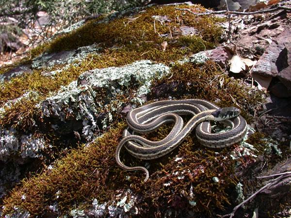Western Blackneck Garter Snake - Thamnophis cyrtopsis cyrtopsis