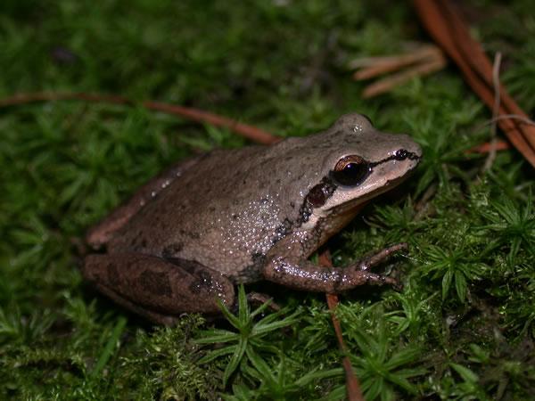 Southern Chorus Frog (Pseudacris nigrita)