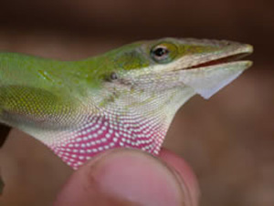 Anatole Lizard