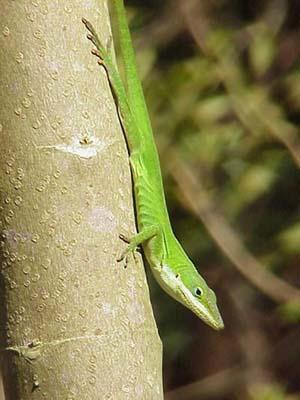 Species Profile Green Anole Anolis Carolinensis Srel Herpetology,Round Ripple Crochet Pattern