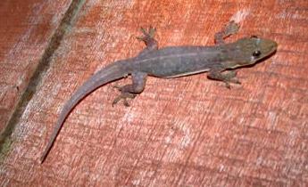 Indo-Pacific Gecko (Hemidactylus garnotti)