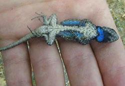 Species Profile Eastern Fence Lizard Sceloporus Undulatus Srel