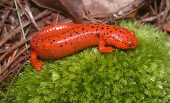 Image result for images of red salamander