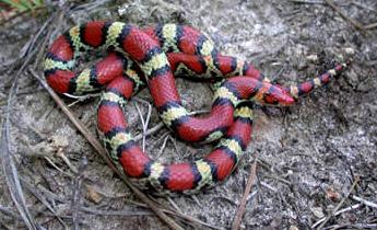 Species Profile Scarlet Snake Cemophora Coccinea Srel Herpetology
