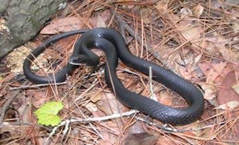 Species Profile Black Racer Coluber Constrictor