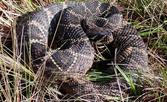 Species Profile: Eastern Diamondback Rattlesnake (Crotalus