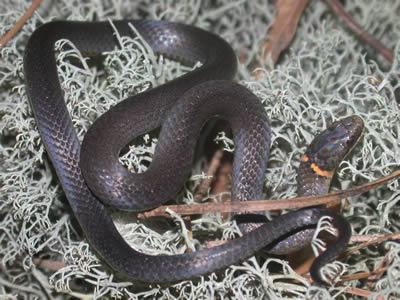 Species Profile Ringneck Snake Diadophis Punctatus Srel Herpetology