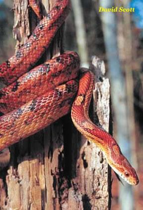 Species Profile: Corn Snake (Elaphe [Pantherophis] guttata