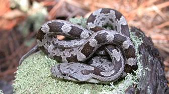 Eastern Black Rat Snake - YouTube