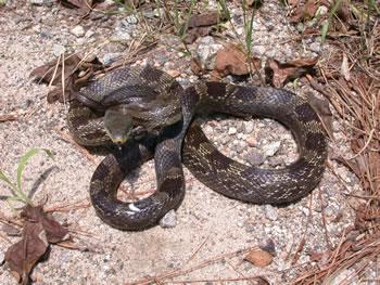Species Profile: Rat Snake (Elaphe [Pantherophis] obsoleta) | SREL ...