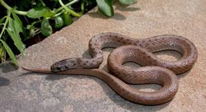 Species Profile: Brown Snake (Storeria dekayi) | SREL Herpetology