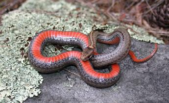 Species Profile: Redbellied Snake (Storeria occipitomaculata) | SREL