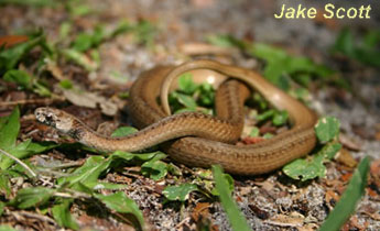 Species Profile Florida Brown Snake Storeria Victa Srel Herpetology