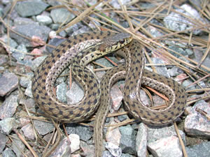 Species Profile  Eastern Garter Snake (Thamnophis sirtalis)  9a804a000