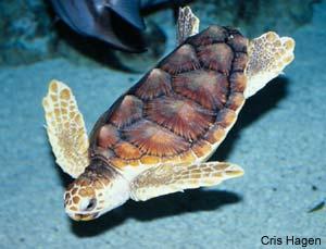 Species Profile: Loggerhead Sea Turtle (Caretta caretta