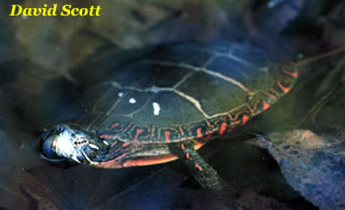 d185715fcc Description  Painted turtles are relatively small turtles (5-7 in  10-18 cm  carapace length)