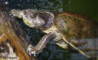 Alabama Map Turtle Species Profile: Alabama Map Turtle (Graptemys pulchra) | SREL